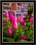Just Pink Tulips by angelfire226