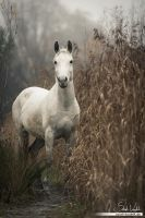 Finn - the 'wild' horse by Pfeffernase