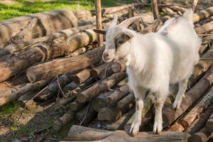 Little billy goat 02 by gatterwe