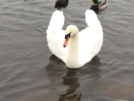 swan picture 1 by Shalialove