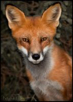 Red Fox by CureBoy