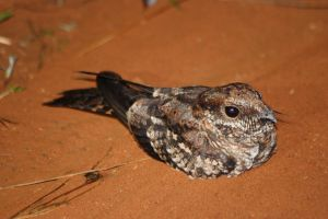 Scissor-tailed Nightjar by BrunoDidi