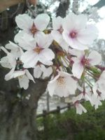 Clerry blossoms close up by SenseiKimiko