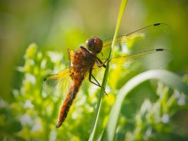 Dragonfly by davepphotographer
