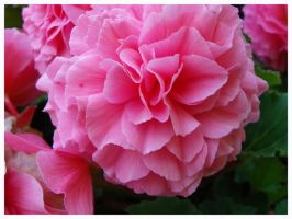 Pink Begonias by AllyCat1994