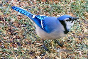 BLUE JAY by sharkbaits