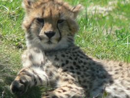 Young Cheetah by allykat