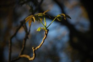 Skynut Leaf by JonGoldie