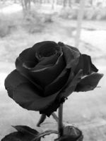 Rose black and white by erks0007