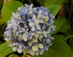 Lavender Hydrangea by Photos-By-Michelle
