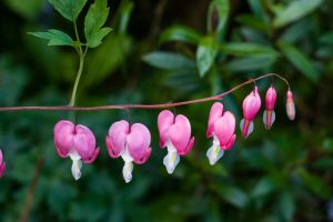 Dicentra Preview 3 by joannastar-stock