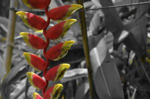 Selective Colour Firecracker Plant by tangeloskye
