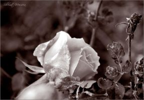 Le temps des roses 3 by ShlomitMessica