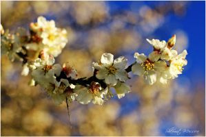 Almond branch by ShlomitMessica