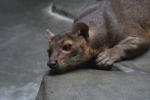 Fossa by SwiftFlyer