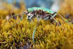 tiger beetle by MartinAmm