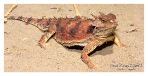 Coast Horned Lizard 2 by shaggz86