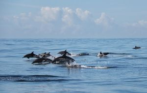 A Pod of Common Dolphins by Oracle88