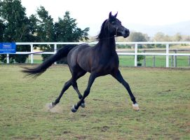GE Arabian Stallion Black Big Trot by Chunga-Stock