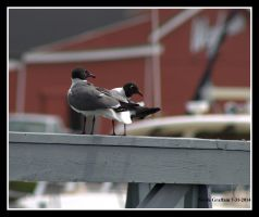 Laughing Gull Pair by SlateGray