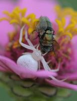 Crab Spider 20D0011933 by Insect-Lovers-Club
