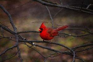Northern Male Cardinal by ViridianRoses