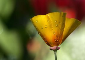 Poppy Wetness by andras120