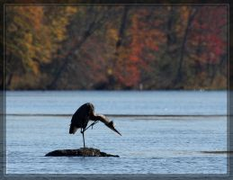 Great Blue Heron 40D0031329 by Cristian-M