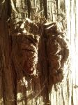 Knotted Tree Bark by Derema-Phoenixia