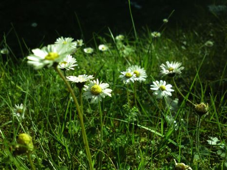 camomile by Abios77