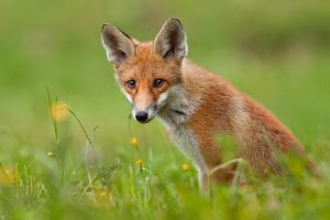 Young fox by JMrocek