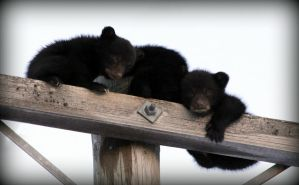 Little Black Bears by PascalsPhotography