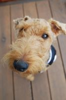 Welsh Terrier_THE DOG Style_2 by 10000Greetings