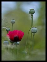 Poppy Dreams by justfrog