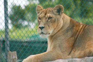 Lioness :Stock: by PixlPhantasy