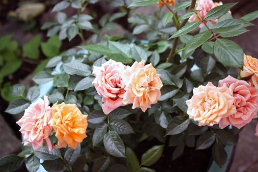 Summer sun roses 1 by GLO-HE