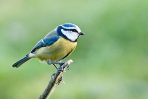 Blue tit 11 by fremlin