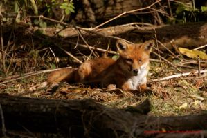 Fox resting in the sun in Lodmoor Nature Reserve by AdrianDunk