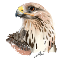hawk by Mr-Conx