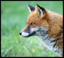 Red Fox 3 by Wolfy2k4
