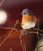 Eastern Bluebird  with red by natureguy