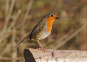 Erithacus-rubecula-Robin-02 by Paul-Gulliver