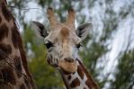 GIRAFFE by major-holdups