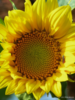 Sunflower and visitor by Mogrianne