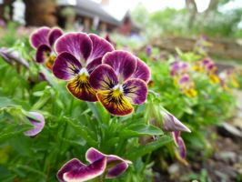 Purple and Yellow Pansies by shofawnda