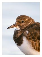 Portrait of a Turnstone by Neutron2K