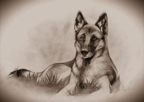 German shepherd portrait by Mirnamiu