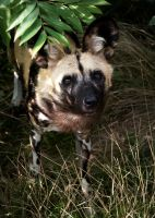 African Hunting Dog by FurLined