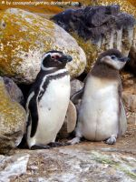 Magellanic penguins 3 by Cansounofargentina