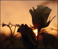 Sundown and roses by Buble